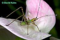 "0720-07mm  Scudder's Bush Katydid - Scudderia spp. ""Nymph"" - © David Kuhn/Dwight Kuhn Photography"