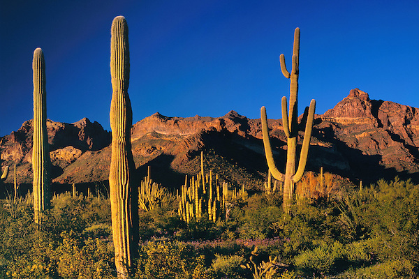 Saguaro cactus at sunset with Ajo Mountains, Organ Pipe Cactus National Monument, Arizona, USA. .  John offers private photo tours in Arizona and and Colorado. Year-round.