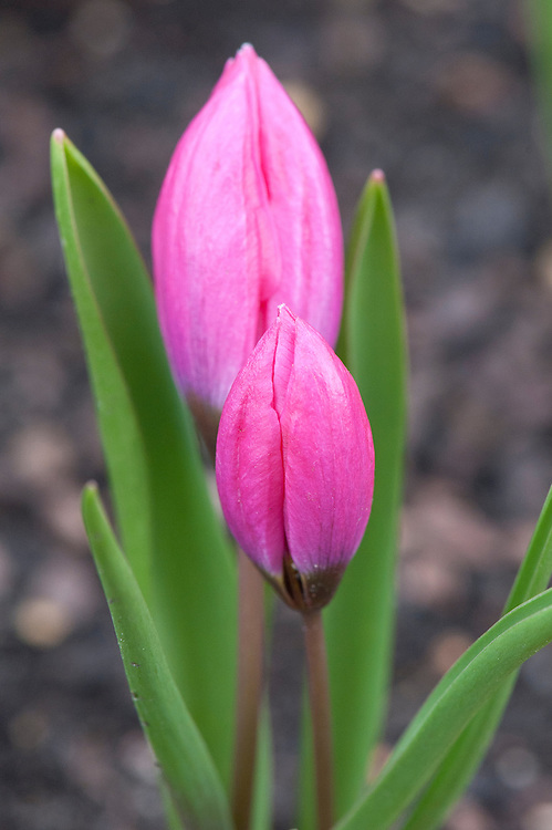 Dwarf tulip (Tulipa humilis 'Violacea Group Black Base'), early March.