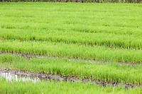 Tanzania, Mto wa Mbu.  Rice Paddies.