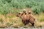 USA, Alaska, Katmai National Park, brown bear (Ursus arctos) and two cubs