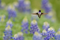 Black-chinned Hummingbird (Archilochus alexandri), adult male flying among blooming Texas Bluebonnet (Lupinus texensis), Hill Country, Texas, USA