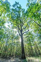 France, Allier, Bourbonnais, Troncais forest, Isle et Bardais, Charles-Louis Philippe oak // France, Allier (03), Bourbonnais, forêt de Tronçais, Isle-et-Bardais, chêne Charles-Louis Philippe