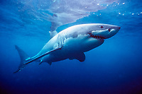great white shark, Carcharodon carcharias, with research tag, South Australia