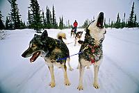 Transporte em trenó no Alasca. 2002. Foto de Luciana Whitaker.