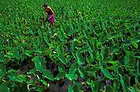 Young girl working in the taro fields in Waipio Valley on the Big Island