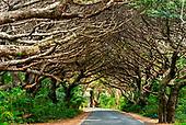ile des pins, forêt de bugnis