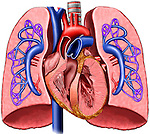 This full color medical illustration pictures the primary anatomy of the heart and lungs with pulmonary artery circulation. It features a single anterior (front) cut-away view of the heart and lungs. The ventricles of the heart and anterior surfaces of the lungs are cut away to reveal the network of pulmonary arteries from the heart to the lungs. This image is intentionally left unlabeled to accommodate custom label requests