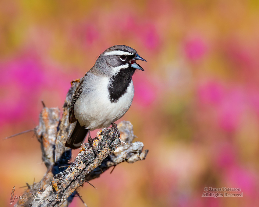 Black-Throated Sparrow.  Perched on a branch of a dying cholla cactus, this boisterous fellow was defending his territory in Arizona's Lower Sonoran Desert on a sunny, late winter's morning.  He was hanging out in front of a patch of brilliant Owl's Clover blossoms near Lake Pleasant, northwest of Phoenix.<br /> <br /> Image ©2020 James D. Peterson