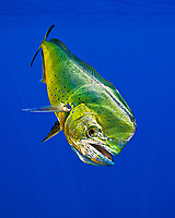 mahi-mahi, dorado, or common dolphin-fish, Coryphaena hippurus, adult, bull, Kona Coast, Big Island, Hawaii, USA, Pacific Ocean
