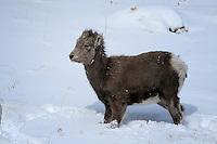 Bighorn Lamb, Cody, Wyoming