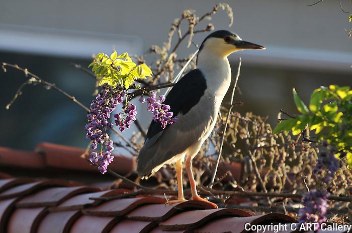 Black-Crowned Night Heron on a roof, Newport Beach, California. Photograph by Cari Garfield.
