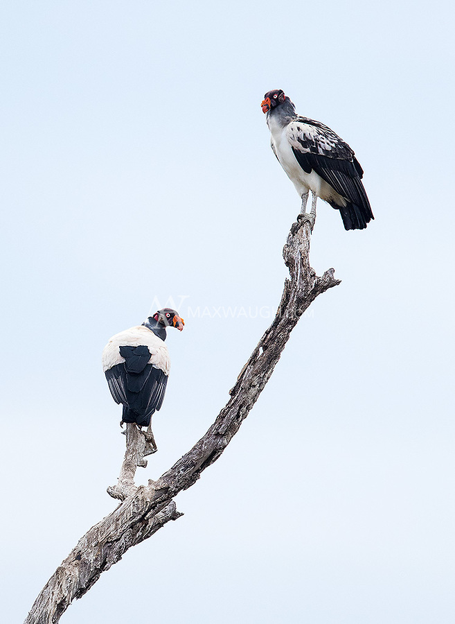 We were fortunate to find a couple King vultures during a game drive in the Pantanal.
