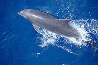 bottlenose dolphin, Tursiops truncatus, Mexico, Caribbean Sea, Yucatan, Atlantic