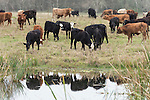 Brazoria County, Damon, Texas; several young cows in the pasture are reflected in the water's surface of the slough on an overcast day