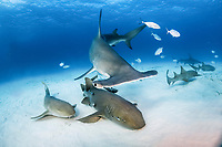 great hammerhead, Sphyrna mokarran, endangered species, and nurse shark, Ginglymostoma cirratum, South Bimini, Bimini, The Bahamas, Atlantic Ocean