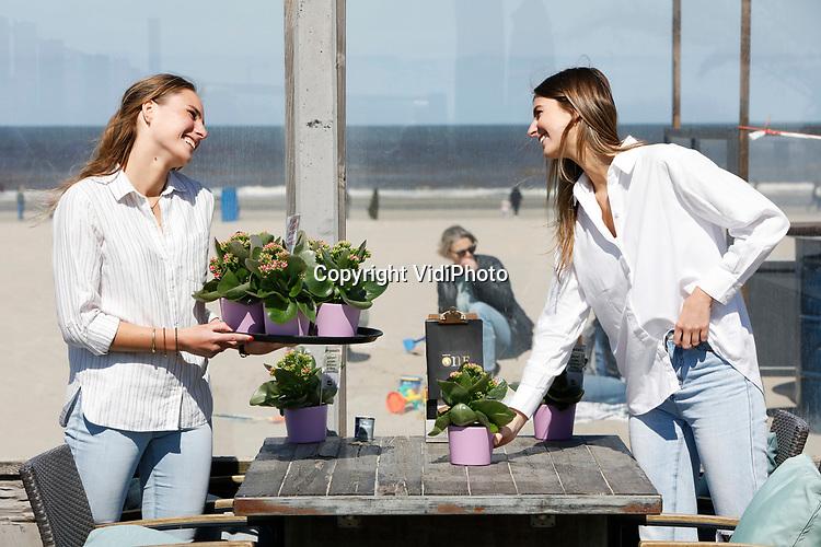 Foto: VidiPhoto<br /> <br /> HOEK VAN HOLLAND - Horecaondernemers werden maandag aangenaam verrast door een spontane actie van Nederlandse plantenkwekers. In diverse steden van Zeeland tot Noord-Holland zijn duizenden Kalanchoës, ook wel woestijnrozen genoemd, uitgedeeld om de terrastafels extra kleur te geven. De terrassen mogen vanaf woensdag voor het eerst dit jaar open. De kwekers kozen voor woestijnrozen omdat deze kleurrijke vetplanten de hele zomer door bloeien en weinig water nodig hebben. Foto: Medewerkers van Beach Club One in Hoek van Holland helpen kweker Schoenmaker uit 's-Gravenzande met het plaatsen van de woestijnrozen.