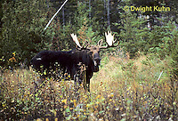 MS01-124z  Moose - bull (male) in Baxter State Park, Maine - Alces alces.