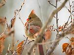 female cardinal bird