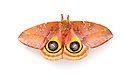 Bullseye Moth {Automeris io} showing eye spot markings on wings during deimatic display to deter predators. Photographed on a white background.  Captive, originating from North and Central America. Sequence 2 of 2. website