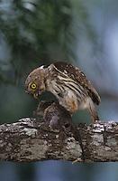 Ferruginous Pygmy-Owl, Glaucidium brasilianum, adult with mouse prey, Willacy County, Rio Grande Valley, Texas, USA, June 2004