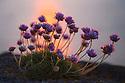 Thrift {Armeria maritima} growing next to the sea at sunset, Isle of Mull, Inner Hebrides, Scotland, UK. June.