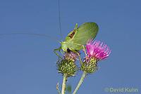0815-0913  Common True Katydid (Northern True Katydid), Pterophylla camellifolia © David Kuhn/Dwight Kuhn Photography