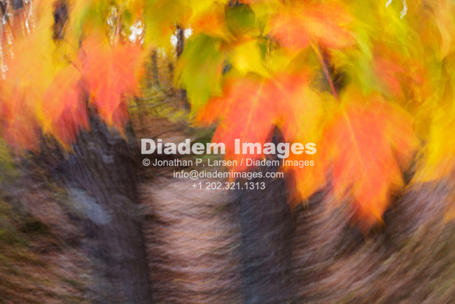 Abstract, motion blur view of fall Maple leaves in Mille Lacs Kathio State Park, Minnesota.