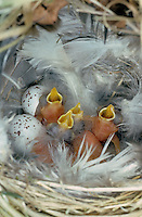 Zilpzalp, Nest, Gelege mit Küken und Eiern, Zilp-Zalp, Zilp - Zalp, Phylloscopus collybita, Chiffchaff, Pouillot véloce