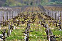 merlot vineyard chateau la garde pessac leognan graves bordeaux france