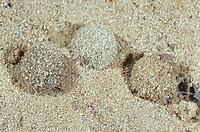 Ameisenjungfer, Puppe im Puppenkokon, Kokon, Geflecktflüglige Ameisenjungfer, Gefleckte Ameisenjungfer, Ameisenlöwe, Ameisen-Löwe, Euroleon nostras, Le fourmilion parisien, Ameisenjungfern, Myrmeleontidae, antlion, antlions