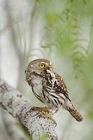 Ferruginous Pygmy-Owl, Glaucidium brasilianum, adult with lizard prey, Willacy County, Rio Grande Valley, Texas, USA, June 2006