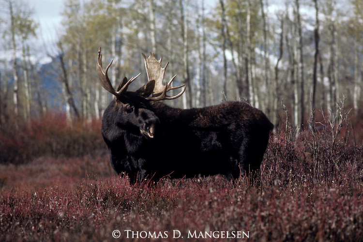 Portrait of a bull moose in Grand Teton National Park, Wyoming, at the end of the summer.