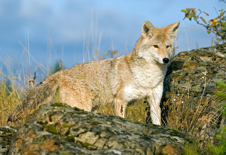 Coyote on top of hill looking intently at potential prey - CA