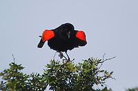 Red-winged Blackbird (Agelaius phoeniceus), male singing, Sinton, Corpus Christi, Coastal Bend, Texas, USA