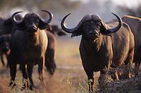 Cape Buffalo Bulls (Syncerus caffer)