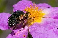 Rosenkäfer, Cetoniinae, Blütenbesuch auf Zistrose, Blatthornkäfer, Scarabaeidae, rose beetle, rose chafer, Kroatien, Croatia