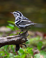 Male black-and-white warbler in fall migration
