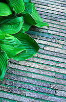 Detail of recycled paving with Hosta leaves