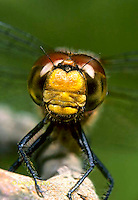 1O06-002z  Skimmer Dragonfly face and compound eyes