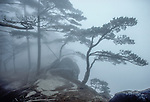Huangshan pines (Pinus hwangshanensis), Anhui Province, China<br /> The contortions of the pine branches complement the curvature of the boulders in the middle of the composition. The soft early morning light diffused by the dense mist renders the scene as a monochromatic study.