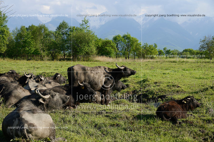 ROMANIA Transylvania, water buffaloes in front of Fagaras mountains  / RUMAENIEN Transsilvanien Siebenbuergen, Arpasu de Sus, Wasserbueffelhaltung, Wasserbueffel auf Weide vor Fagaras Gebirge