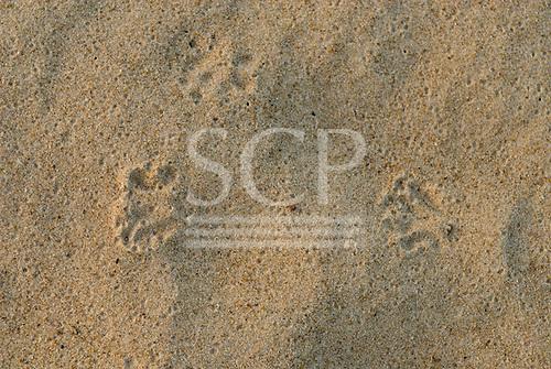 Pará State, Brazil. Xingu River; island beach; capivara footprints.