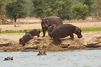 Hippopotamus.  This is a rare opportunity to see a herd of hippos out of the water mid day since  hippos spend most of their day in water deep enough to cover them because their thin, naked skin is vulnerable to overheating and dehydration,  Okavango Delta, Botswana Africa.