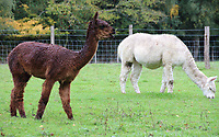 A group of Alpacas seen in a field in the rain next to Standen House in Sussex. South American animal, more used to the Peruvian hillside than a soaking wet  day in Sussex. October 8th 2020<br />