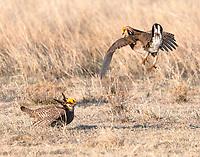 Lesser prairie-chickens fighting