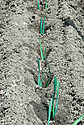 """Planting out or """"dibbing in"""" young leek plants, mid June."""