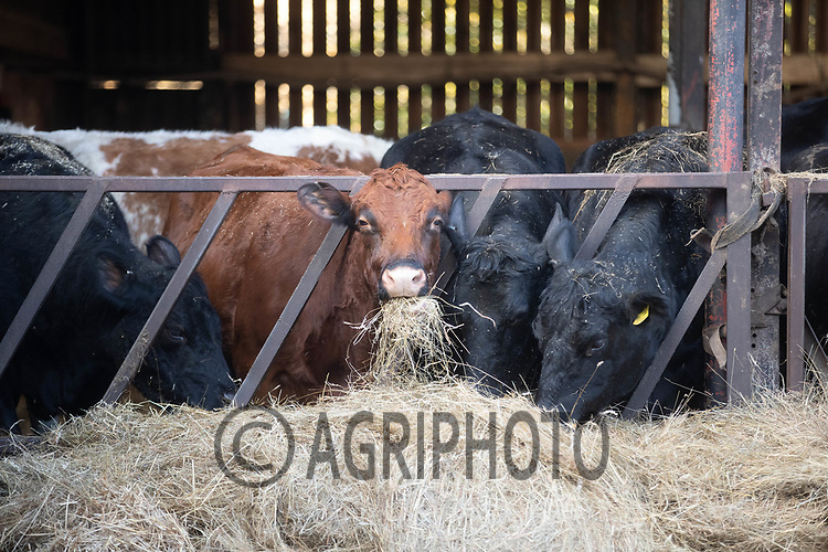 18-2-2021 Suckler cows eating silage <br /> ©Tim Scrivener Photographer 07850 303986<br />      ....Covering Agriculture In The UK....
