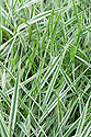 Phalaris arundinacea var. picta, early July. A perennial grass with narrow leaves striped with white, pale and dark green, and narrow pale green flowering panicles in summer. Common names include Gardener's garters and Bride's laces.