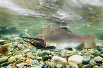Male Pink Salmon (Oncorhynchus gorbuscha) migrating upstream towards spawning redds in stream shallows, Great Bear Rainforest, British Columbia, Canada.